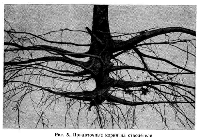 Придаточные корни на стволе ели