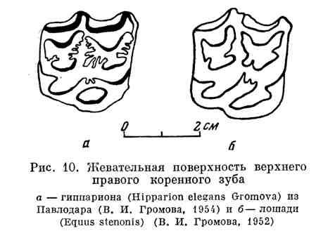 Жевательная поверхность верхнего правого коренного зуба