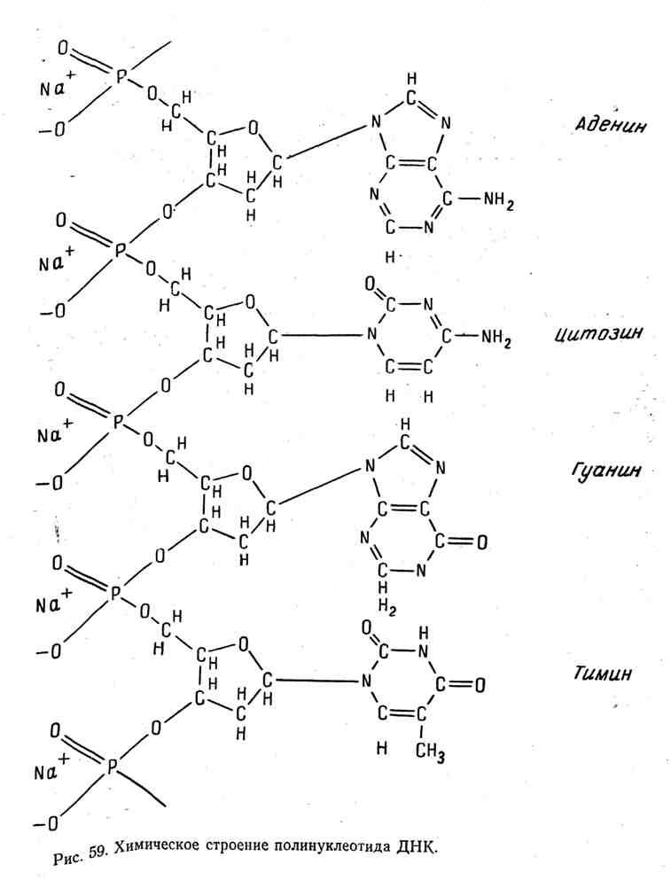 Химическое строение полинуклеотида ДНК
