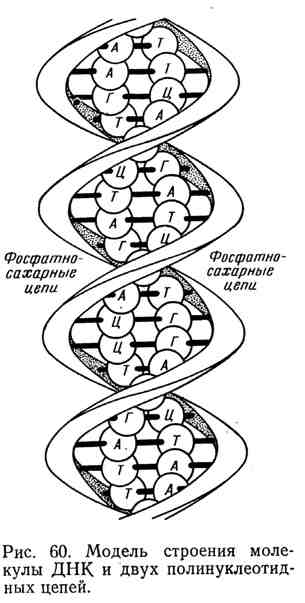 Модель строения молекулы ДНК и двух полинуклеотидных цепей