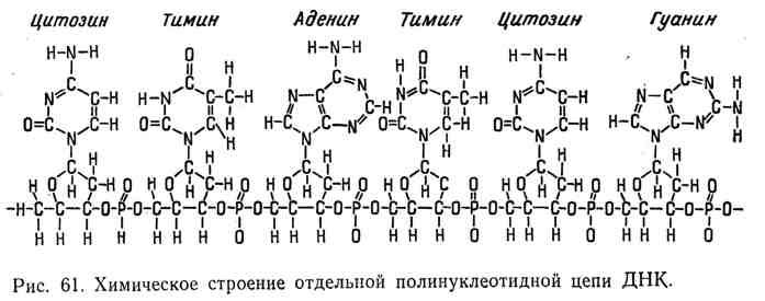 Химическое строение отдельной полинуклеотидной цепи ДНК