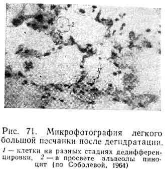 Микрофотография легкого большой песчанки после дегидратации