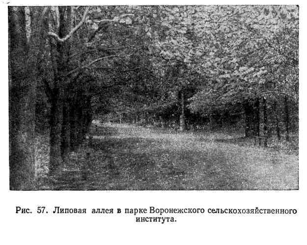 Липовая аллея в парке Воронежского сельскихозяйственного института
