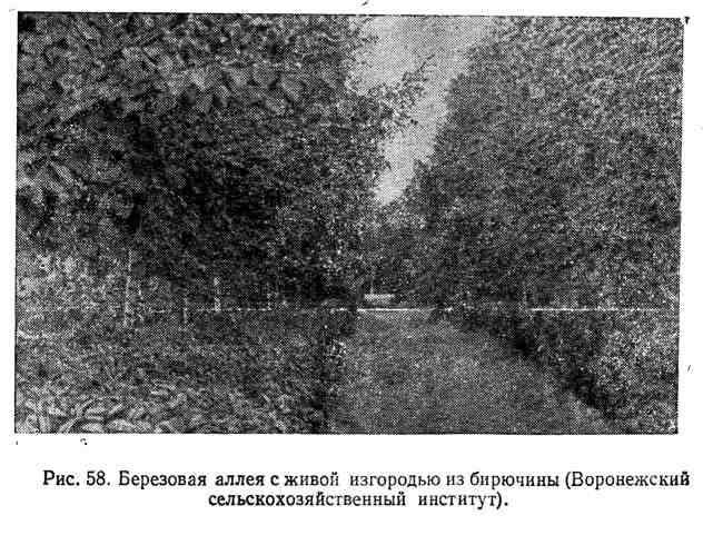 Берёзовая аллея с живой изгородью из бирючины