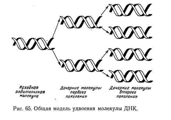 Общая модель удвоения молекулы ДНК