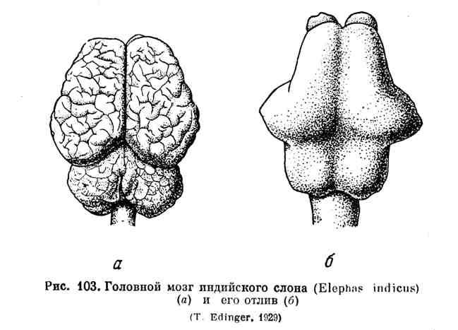 Головной мозг индийского слона