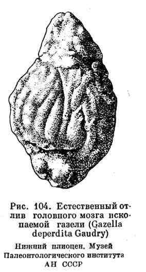 Естественный отлив головного мозга ископаемой газели