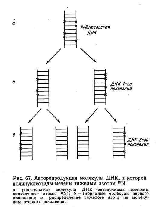 Авторепродукция молекулы ДНК, в которой полинуклеотиды мечены тяжёлым азотом 15N