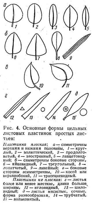 Основные формы цельных листовых пластинок простых листьев
