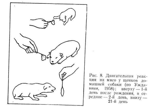 Двигательная реакция на мясо у щенков домашней собаки