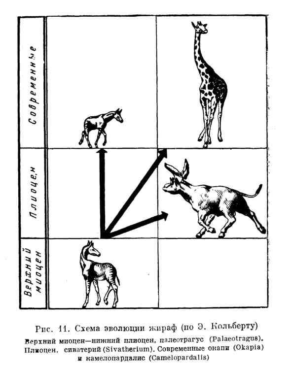 Схема эволюции жираф