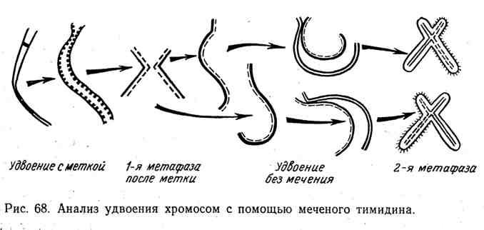 Анализ удвоения хромосом с помощью меченого тимидина