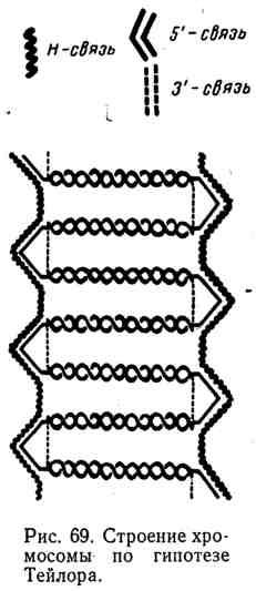 Строение хромосомы по гипотезе Тейлора