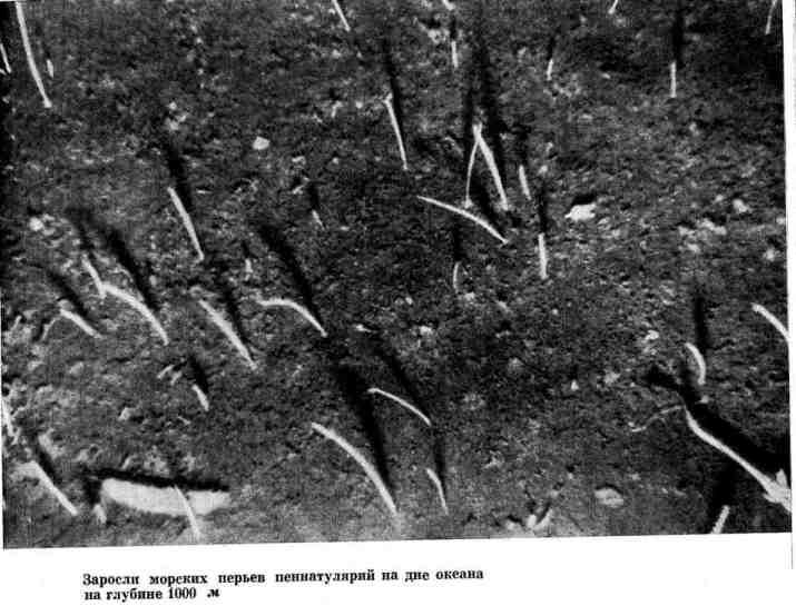 Заросли морских перьев пеннатулярий на дне океана на глубине 1000 м