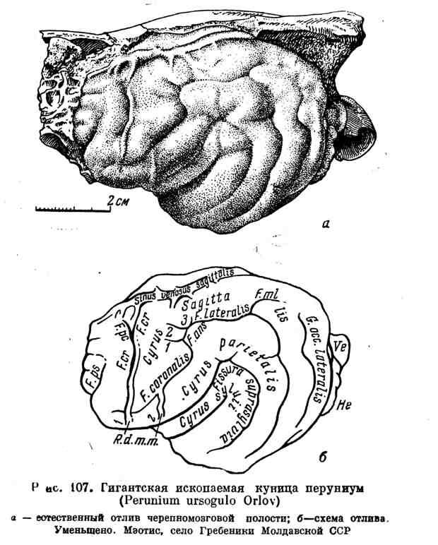 Гигантская ископаемая куница перуниум