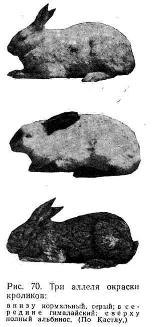Три аллеля окраски кроликов