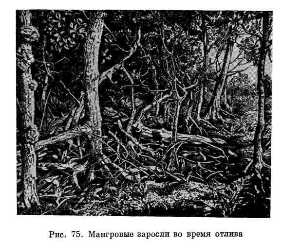 Мангровые заросли во время отлива