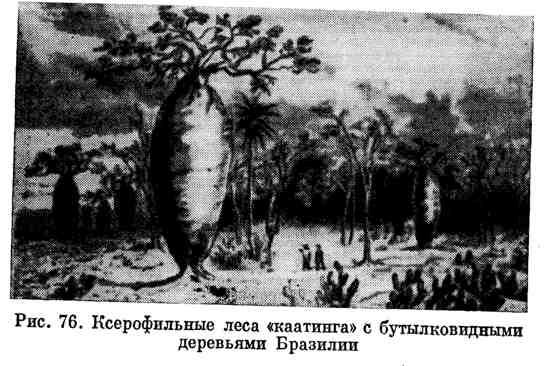 """Ксерофильные леса """"каатинга"""" с бутылковидными деревьями Бразилии"""