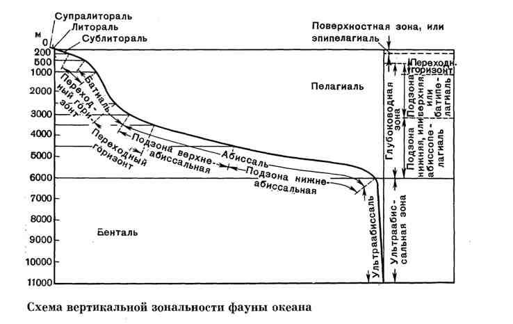 Схема вертикальной зональности фауны океана