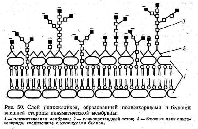 Слой гликокалиса, образованный полисахаридами и белками внешней стороны плазматической мембраны