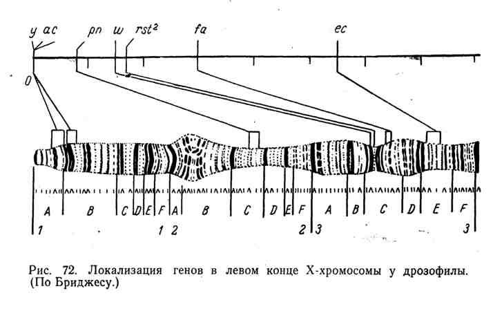 Локализация генов в левом конце Х-хромосомы у дрозофилы