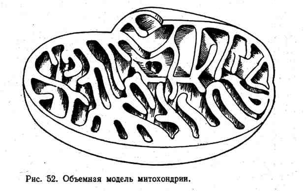 Объёмная модель митохондрии