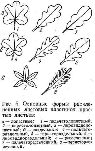 Основные формы расчленённых листовых пластинок простых листьев