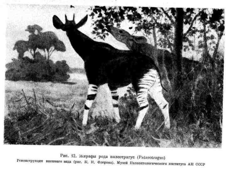 Жирафы рода палеотрагус