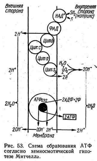 Схема образования АТФ согласно хемиосмотической гипотезе Митчелла
