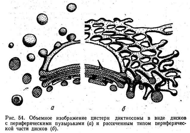 Объёмное изображение цистерн диктиосомы в виде дисков с периферическими пузырьками и рассечённым типом периферической части дисков