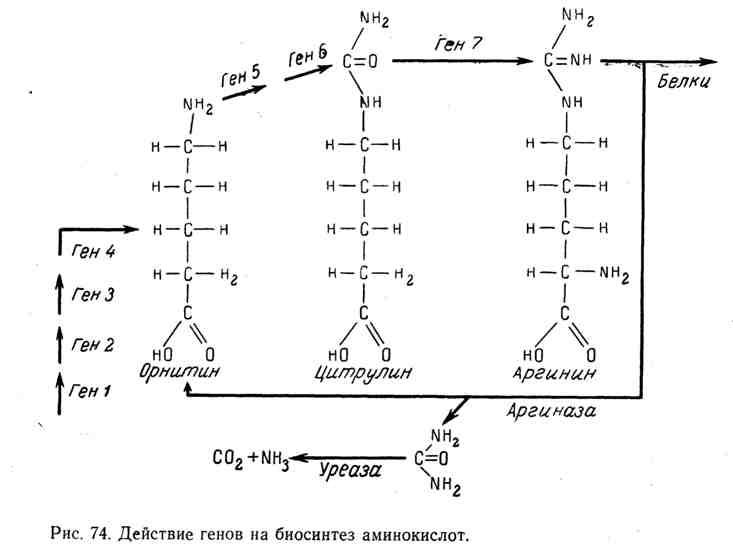 Действие генов на биосинтез аминокислот