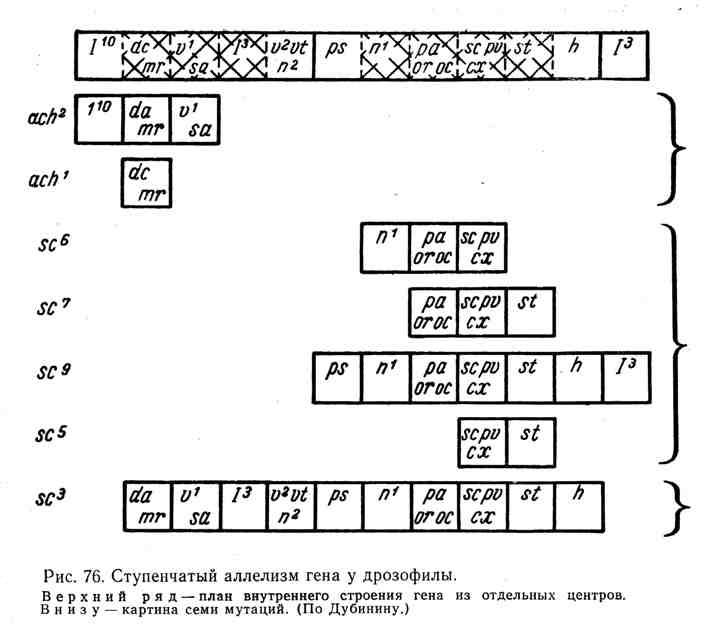 Ступенчатый аллелизм гена у дрозофилы