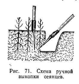 Схема ручной выкопки сеянцев