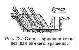 Схема прикопки сеянцев для зимнего хранения