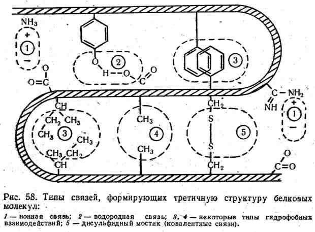 Типы связей, формирующих третичную структуру белковых молекул