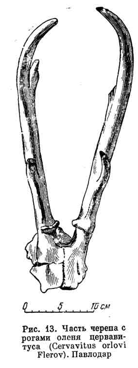 Часть черепа с рогами оленя цервавитуса. Павлодар