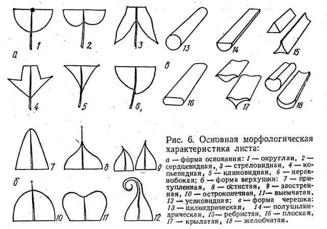 Основная морфологическая характеристика листа