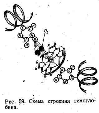 Схема строения гемоглобина