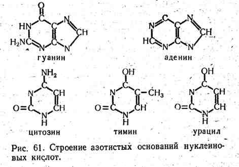 Строение азотистых оснований нуклеиновых кислот