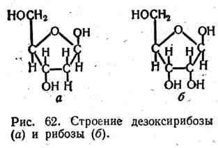 Строение дезоксирибозы и рибозы