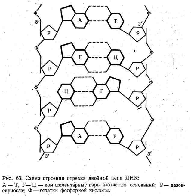 Схема строения отрезка двойной цепи ДНК