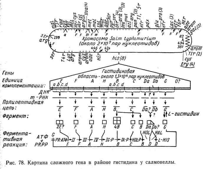Картина сложного гена в районе гистидина у салмонеллы