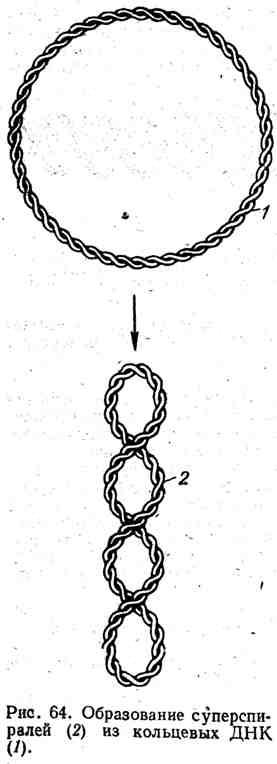 Образование суперспиралей из кольцевых ДНК