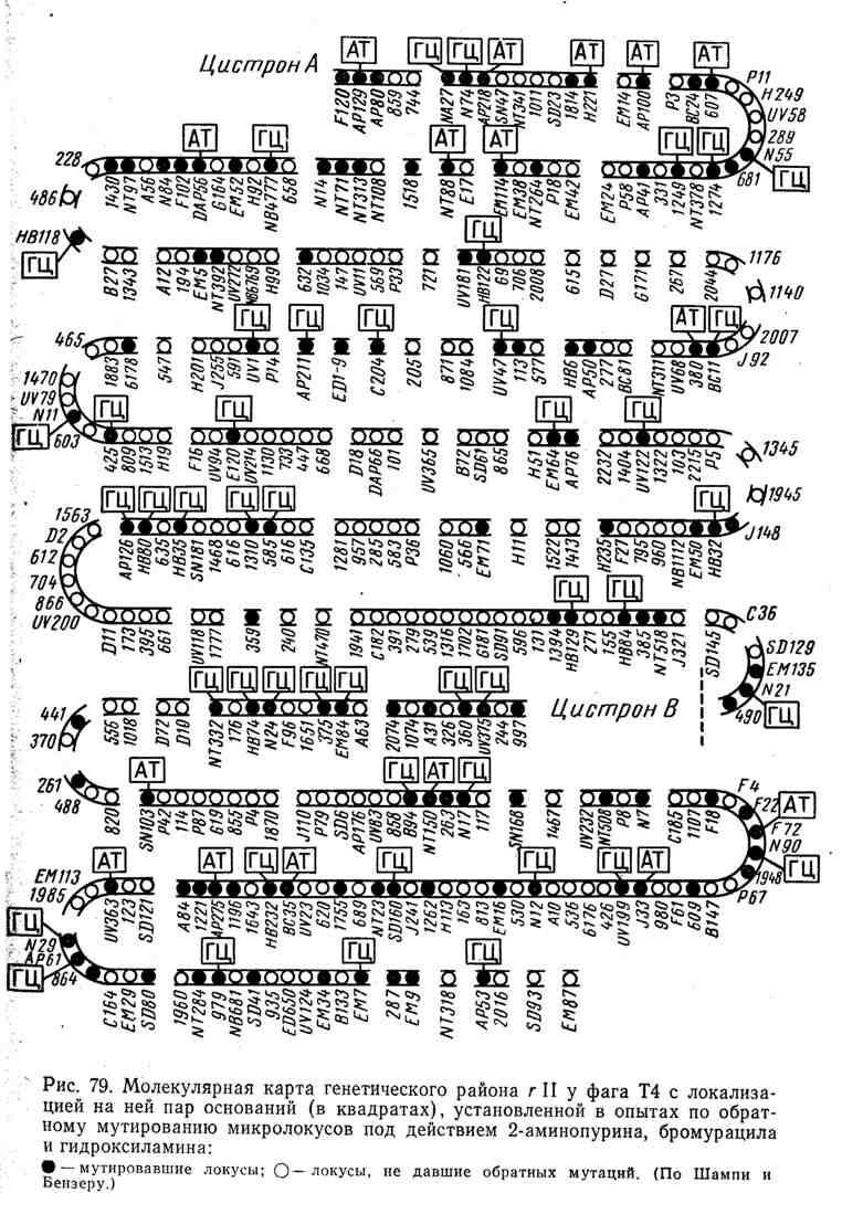 Молекулярная карта генетического района r II у фага T4 с локализацией на ней пар оснований, установленной в опытах по обратному мутированию микролокусов под действием 2-аминопурина, бромурацила и гидроксиламина