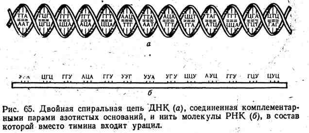 Двойная спиральная цепь ДНК, соединённая комплементарными парами азотистых оснований, и нить молекулы РНК, в состав которой вмести тимина входит урацил