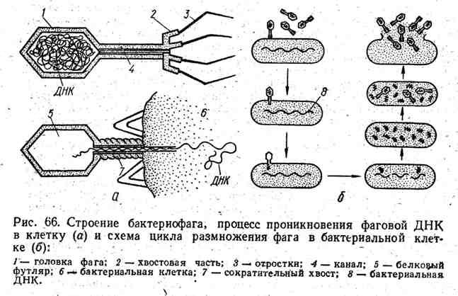Строение бактериофага, процесс проникновения фаговой ДНК в клетку и схема цикла размножения фага в бактериальной клетке
