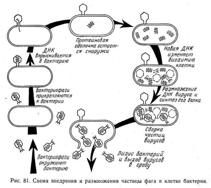 Схема внедрения и размножения частицы фага в клетке бактерии