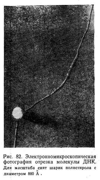 Электронномикроскопическая фотография отрезка молекулы ДНК