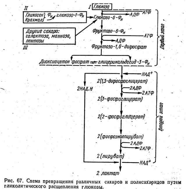 Схема превращения различных сахаров и полисахаридов путём гликолитического расщепления глюкозы