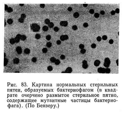 Картина нормальных стерильных пятен, образуемых бактериофагом